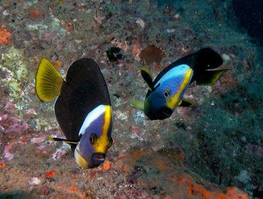 Queensland Yellowtail Angelfish, Chaetodontoplus meredithi