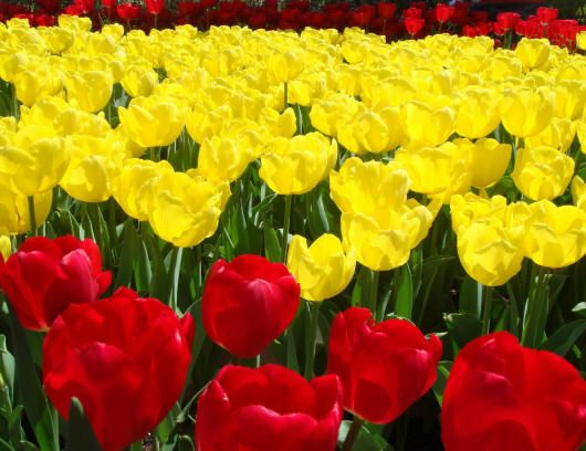 Класс I. Простые ранние. Эти тюльпаны известны еще с конца XVII в. Для них характерны невысокие цветоносы (25—40 см), крепкие и прочные, которые не боятся дождя и ветра. Цветки бокаловидной, чашевидной формы, преимущественно теплых цветов (желтые и красные). Для тюльпанов данного класса характерны ранние сроки цветения (конец апреля). В солнечную погоду их цветки широко раскрываются. Сорта этого класса используются в основном для выращивания в контейнерах, горшках, для посадки в бордюрах.