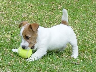 Always playful, Jack Russell puppy.  Can this baby get any cuter or what?!?!