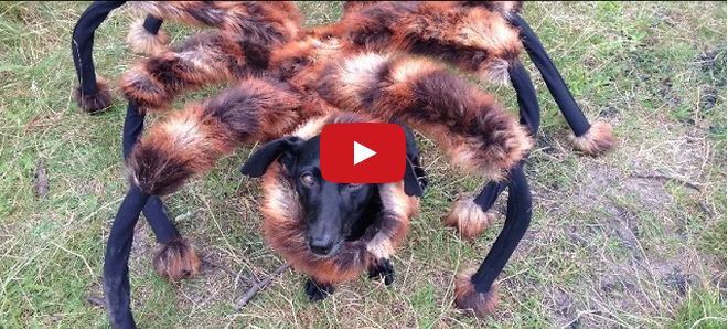 Um cachorro fantasiado de aranha gigante – viu essa pegadinha? ;)