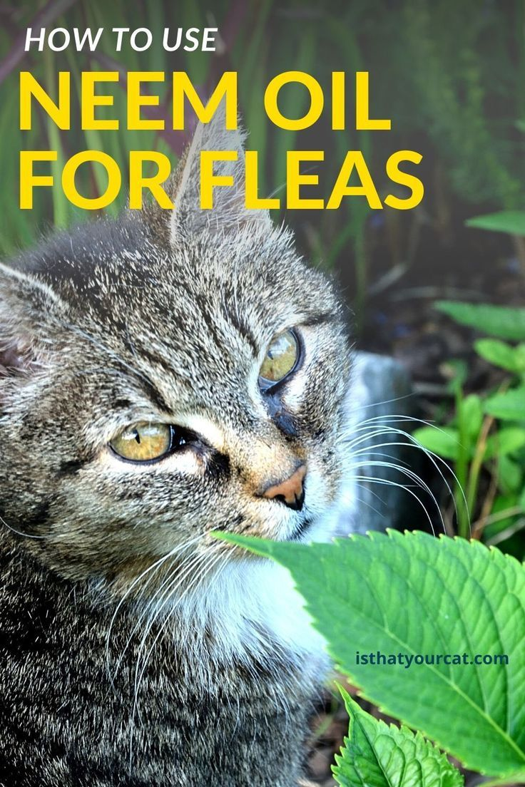 Neem Oil For Fleas On Cats In 2020 Cat Fleas Fleas Flea Spray