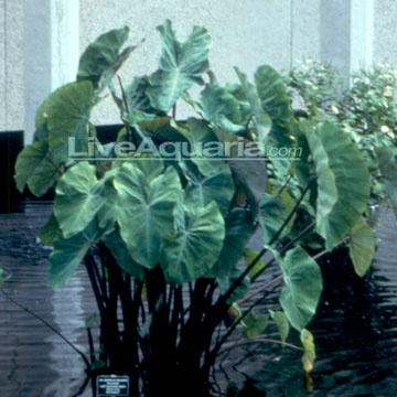 Violet-Stemmed Taro, also known as Elephant Ears, has very dark purple stems that contrast with their large, green leaves. The leaves themselves are arrow to heart shaped and resemble the ears of an elephant. The leaves grow up to 3 feet in length, while the plant may grow 2 to 4 feet tall and should be kept in 1 to 6 inches of water. This plant makes a dramatic accent to the edge of any pond and is also a great choice for a container garden.