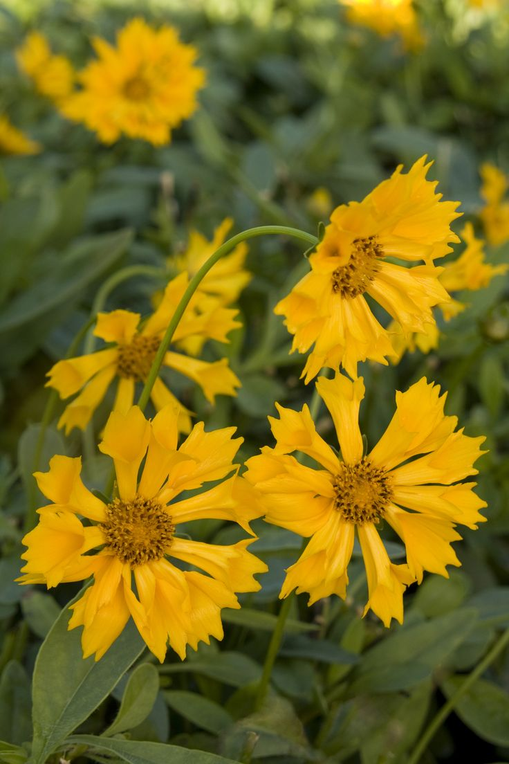 The 62 best annual flowers to plant on our own images on pinterest jethro tull tickseed coreopsis jethro tull pp 18789 jethro tullmonrovia plantsannual flowersplant catalogsyellow izmirmasajfo