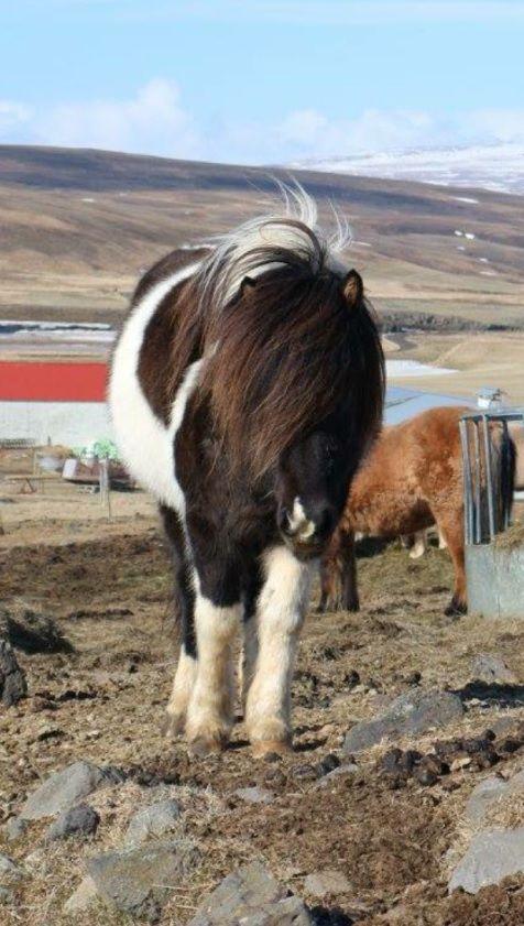 Stuten - icelandic horses for sale