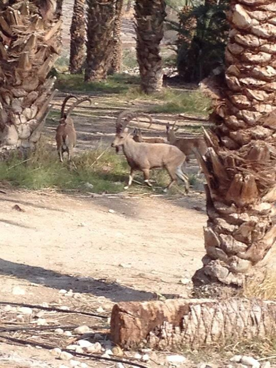 Animal life outside The Old Synagog ruins a short distance from Masada