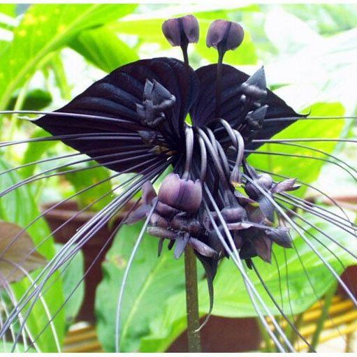 HOT SALE 100pcs/bag Black Tiger Orchid Flowers Seeds Rare Flower Orchid Seeds For Garden & Home Plants Bonsai