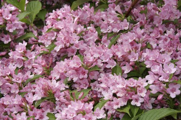 Weigela 'Rosea'    De Weigela 'Rosea' is een rijkbloeiende heester met lichtroze bloemen. De Weigela 'Rosea' bloeit in mei-juni en heeft mooi, donkergroen blad dat perfect combineert met de lichtroze bloemen.