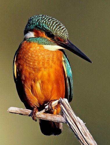 Blauet - Martín pescador común - Alcedo atthis - Common Kingfisher