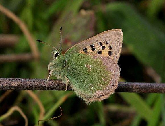 Provence Hairstreak - Butterflies of Europe - Tomares ballus