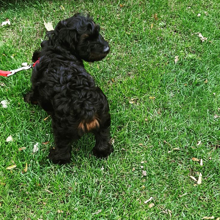 Cutest black Cockapoo in the world. Red bum :D