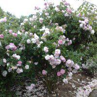 Celeste - Aurora Poniatowska Rose