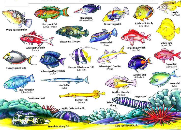 Hawaii Reef Fish guide with Hawaiian names #2   Aloha Joe ...