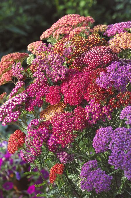Yarrow - blooms spring and fall; drought tolerant; good ground cover; excellent cut or dried flowers; full sun to part shade; blooms May-July