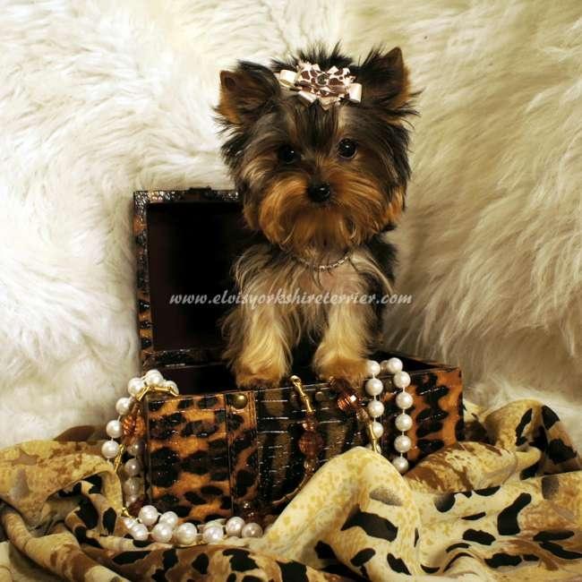 Female Teacup Yorkshire Terrier For Sale - April
