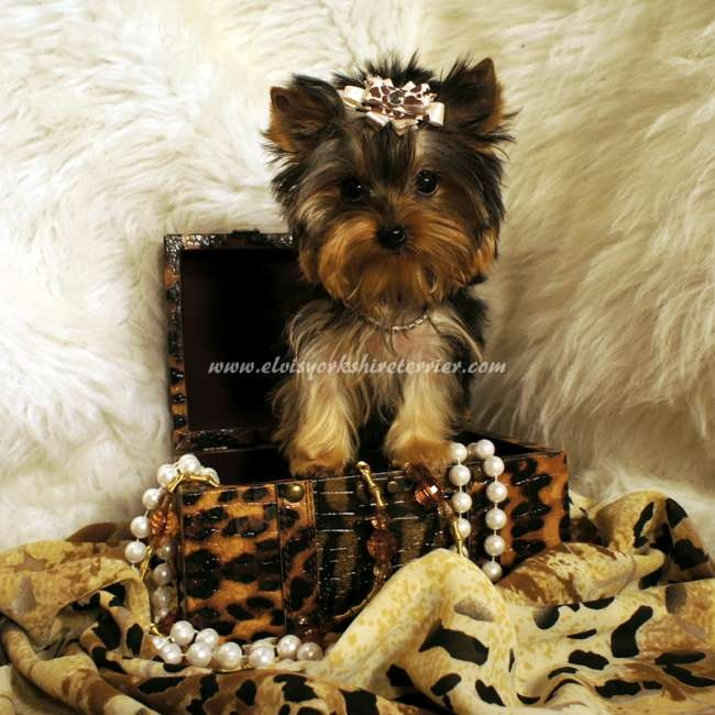 200 best images about teacup dogs on pinterest yorkie puppies for sale yorkie for sale and yorkie