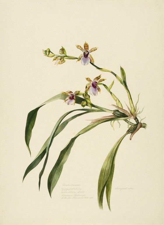 Margaret Mee / Orchidaceae -   Zygopetalum maxillare Lodd.  Represa Billings,  S. Paulo.  Flowered Feb. 1958