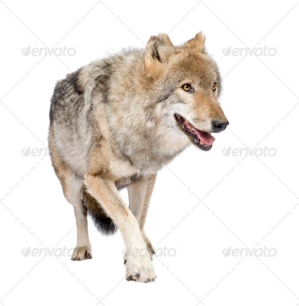 loups roux européen by Lifeonwhite. old European wolf �20Canis lupus lupus in front of a white background