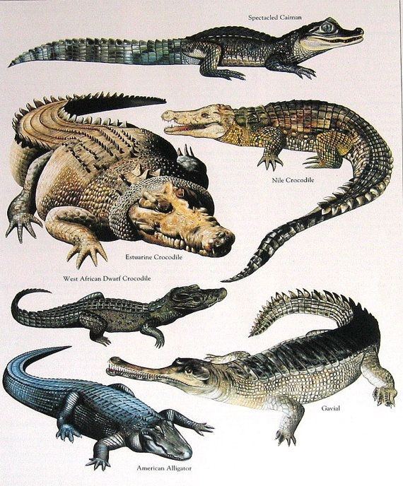 Rescued from a much loved and read reference book on animals is this vintage 1984 book plate featuring Crocodiles, Alligators. Colors are