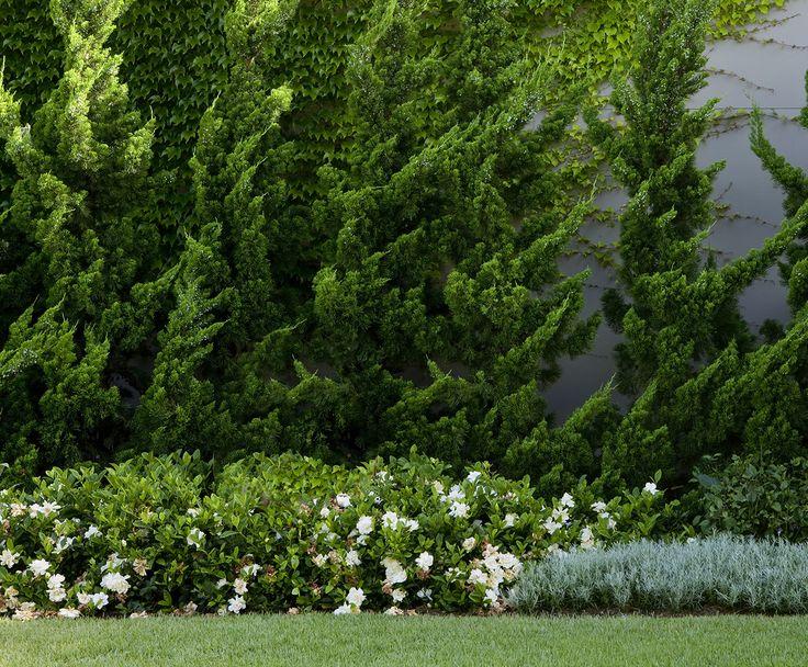 Juniperus 'Ketelirii'