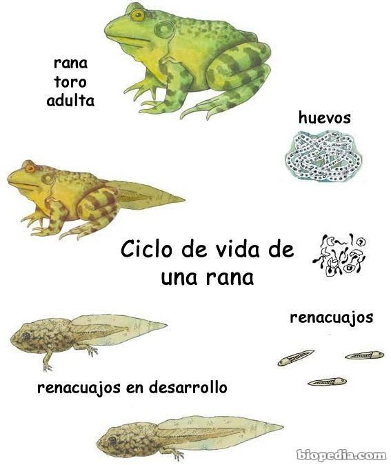 Ms de 25 ideas increbles sobre Ciclos de vida de rana en