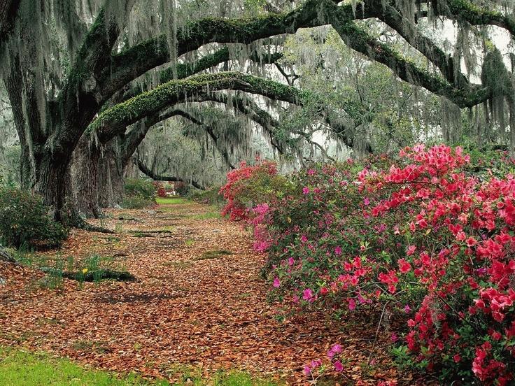 Charleston, South Carolina ~ a lot of Southern Charm!: Natural Photography, Charleston Sc, Southcarolina, Weeping Willow, Wonder Places, Charlestonsc, Charleston South Carolina, Oak Tree, Spanish Moss