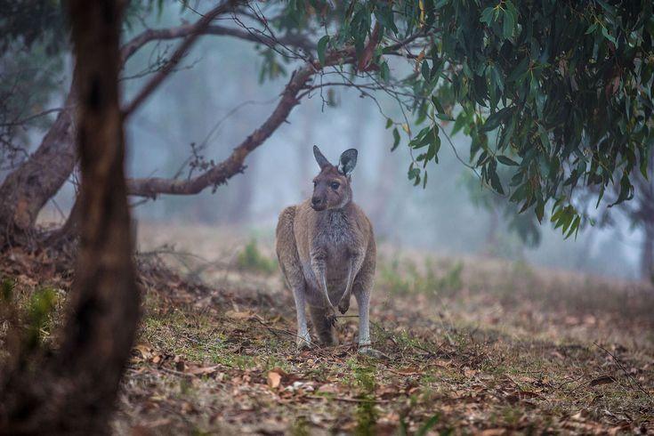 Kangaroo Island: hier wonen onder andere de mierenegel, kangaroo, walibi, voskoesoe, kortneusbuideldas, koala, vogelbekdier, zeebeer, pelsrob en zeeleeuw! Vet!