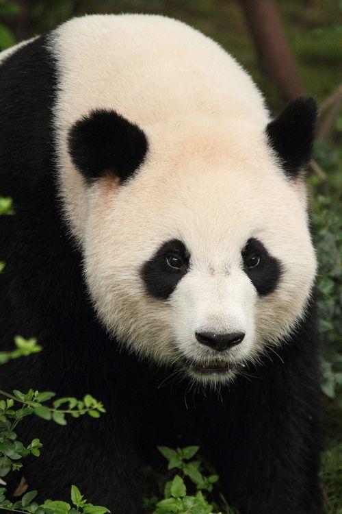 """Giant Panda """" © Jason and Leah Zawodny. """""""