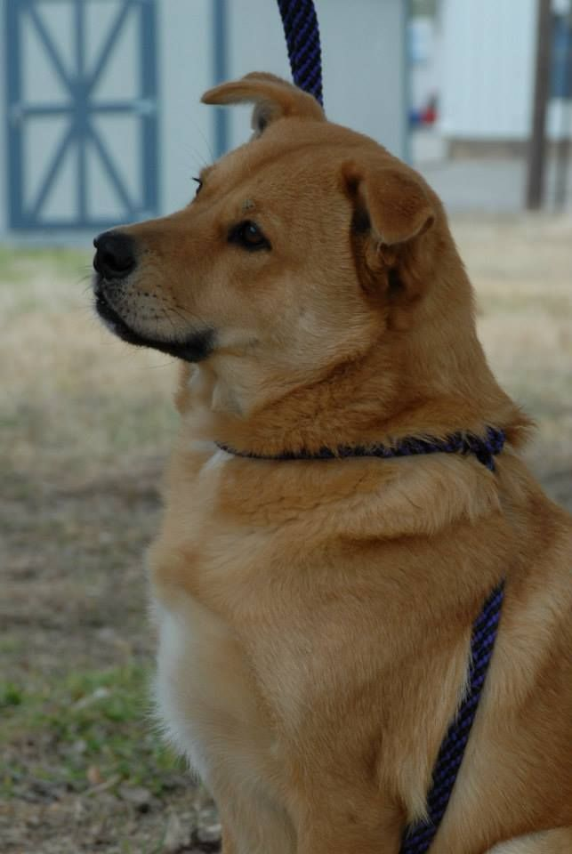 02/16/14 Buck  Yellow Labrador Retriever & Chow Chow Mix • Adult • Male • Large  Canyon Lake Animal Shelter Society Canyon Lake, TX