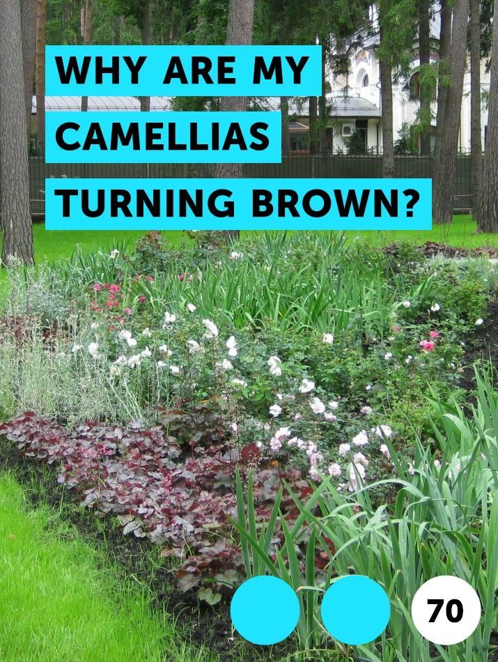 Learn Why Are My Camellias Turning Brown How To Guides Tips And Tricks Bug Spray For Plants Organic Bug Spray Plants