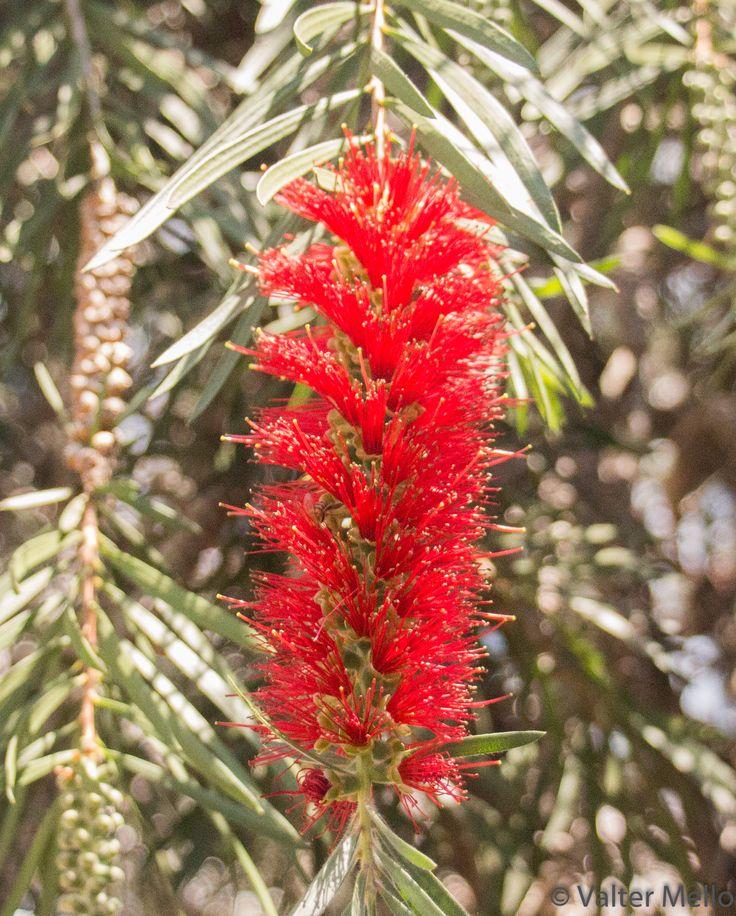 callistemon citrinus - pop Crimson bottlebrush flower at Universidade Braz Cubas - garden of campus 1