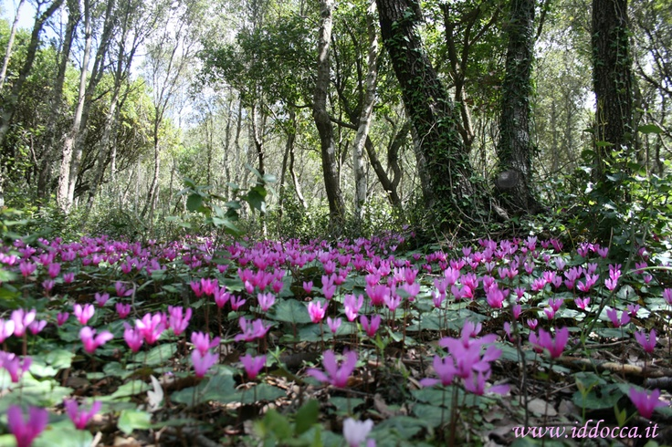 A multitude of wild cyclamens :)
