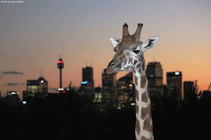 Giraffe in the city