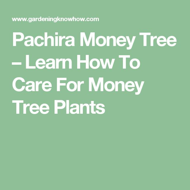 Pachira Money Tree – Learn How To Care For Money Tree Plants