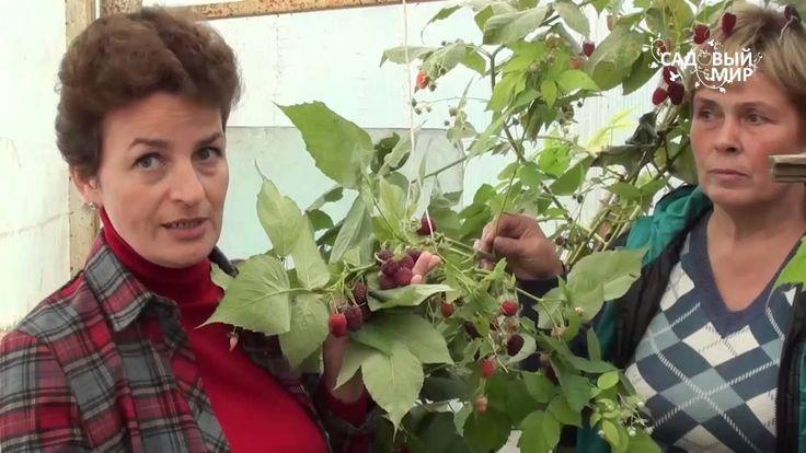 Как увеличить урожай ремонтантной малины