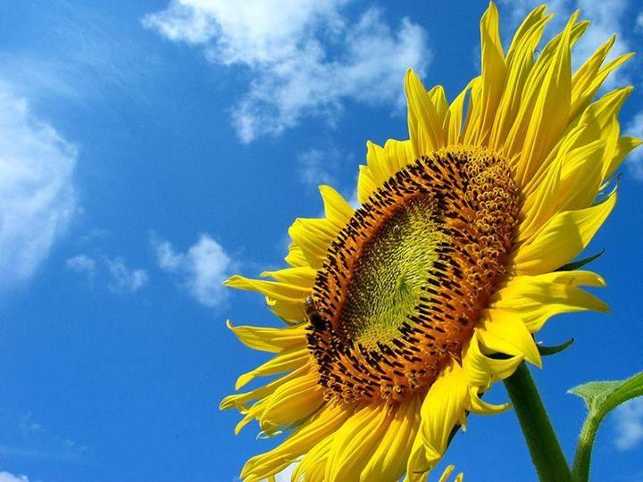 ひまわり Himawari  = sunflower