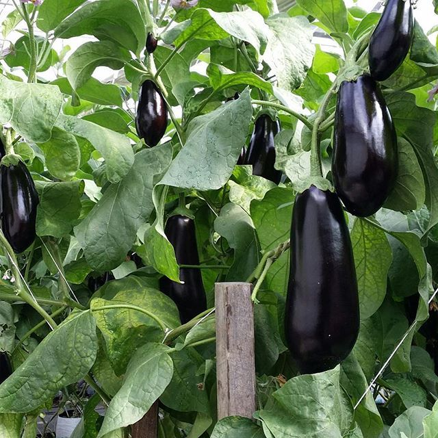 🍆 Eggplant has a range of health benefits, including the ability to help build strong bones and prevent osteoporosis, reduce symptoms of anaemia, increase cognitive function, improve cardiovascular health, protect the digestive system, reduce stress and even prevent cancer. #eggplant #aubergine #superfood #healthy #nutritious #healthyeating #health #goodhealth #freshproduce #eatfresh #vegetables #producemarkets #farming #aussiefarming #greenhouse #agriculture #carterandspencer #instafood…