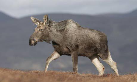 Scottish Moose rides again