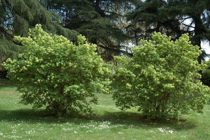 Viburnum Opulus Leaf Viburnum opulus (guelder rose LB