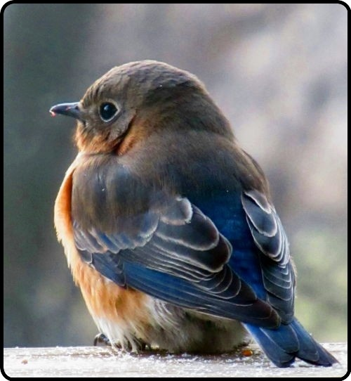 Love this fat baby bluebird!
