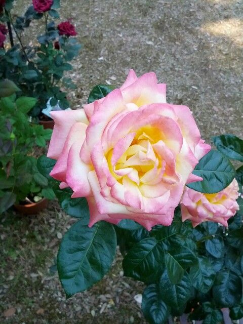 Collection Rose