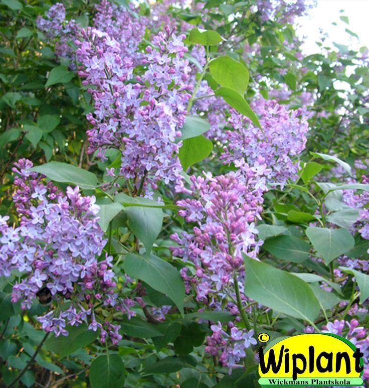 Syringa vulgaris, gårdssyren. Vanlig blå syren. Doftar. Höjd: 2-5 m.