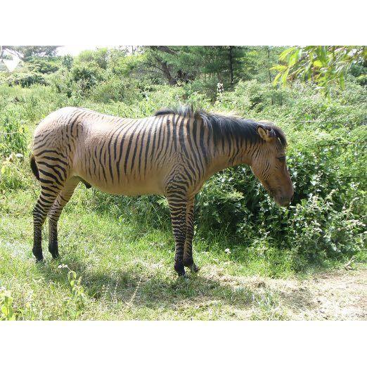 Zebroid (Zebra + Any Other Equine)