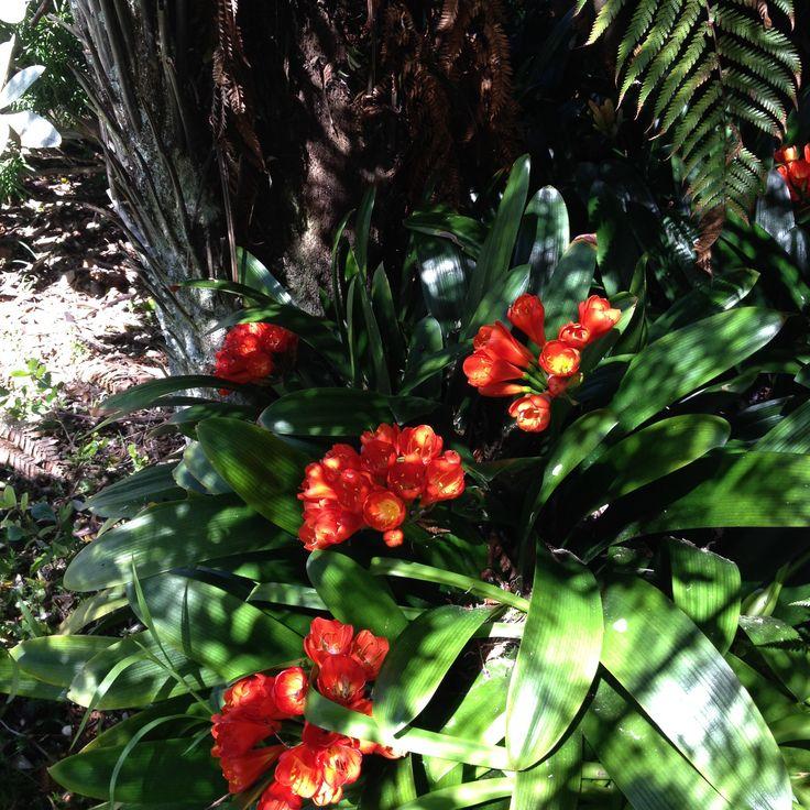 Clivia's under the Punga tree