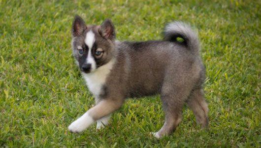 Pomeranian+Husky    Pomskys are so cute!!!