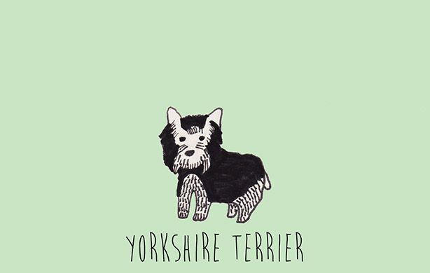 Y is for Yorkshire Terrier.