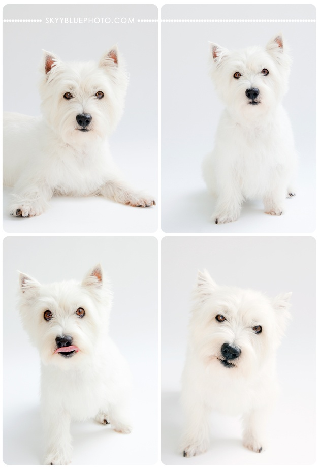 White West Highland terrier on white background