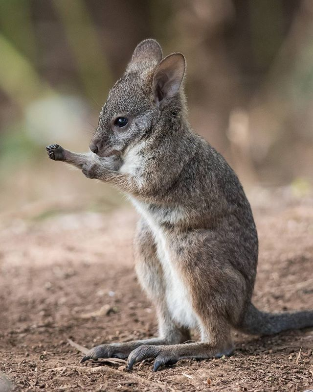 Don't let his size fool you! Little Bruce from @zoosvictoria's #HealesvilleSanctuary has been busy practicing his jab for quite some time now and almost has it mastered. Boxing's actually a common behaviour in male kangaroos - sometimes just for play, but also when they're in competition over females. According to @gemskischnoodles, this lively little fella's mum was keeping a close watch, but #Healesville's zookeeping team also help to raise orphaned baby animals until they're ready to be…