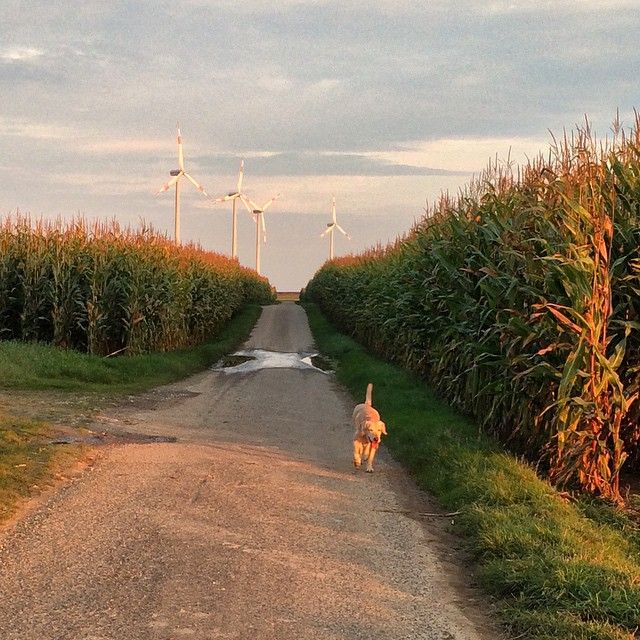 Corn Road #tagebau #garzweiler #titz #corn #Schnitzel #labrador #instadog #deutschland #labbi #instalab