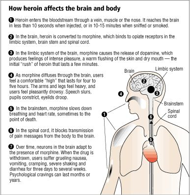 How Heroin Affects The Brain And Body 1 Gt Heroin Enters