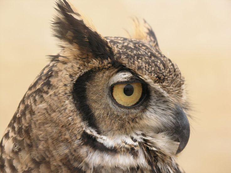 owl head from side